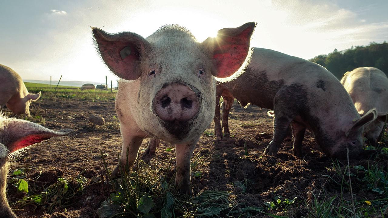 производители свинины