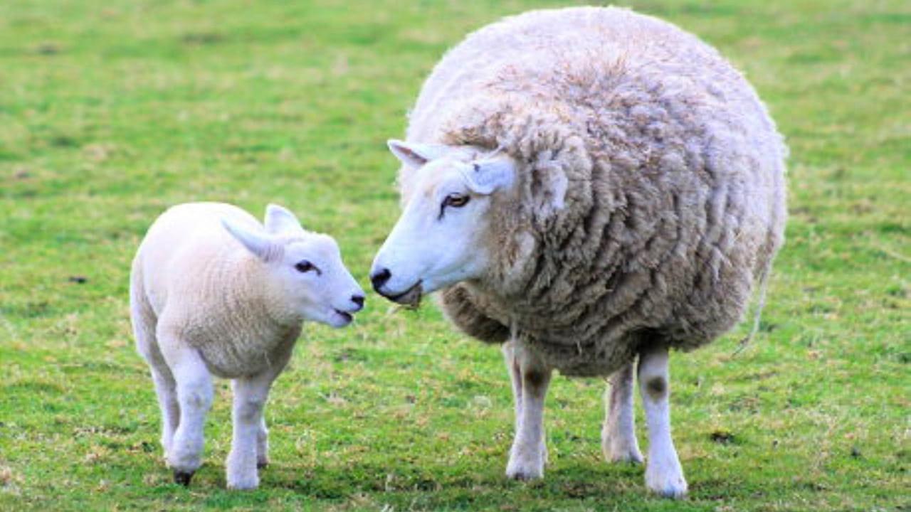 ВПриморье появится овцеводческий комплекс