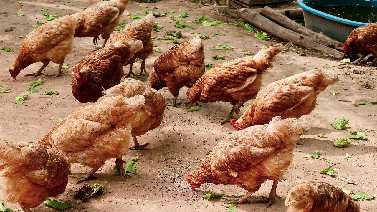 производство птицы