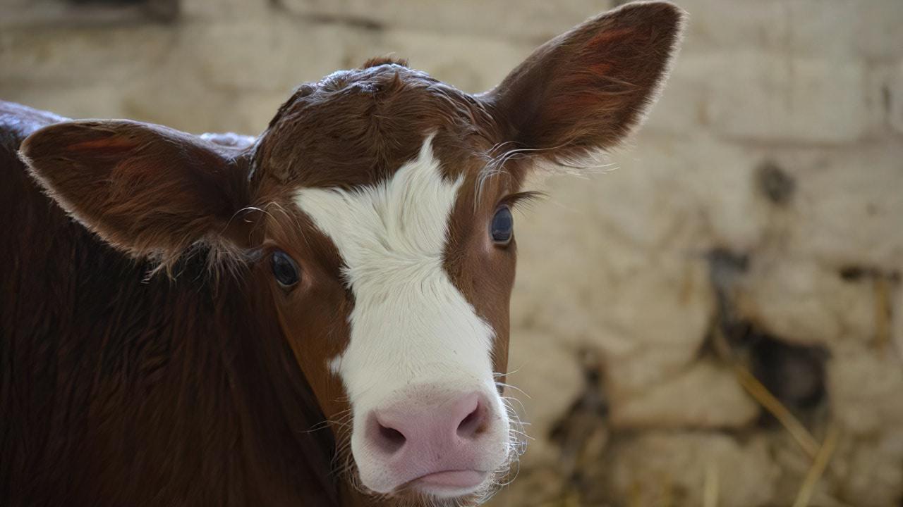 Корова— кто ты
